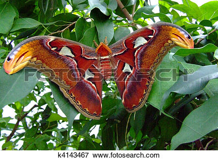Picture of Atlas Moth k4143467.