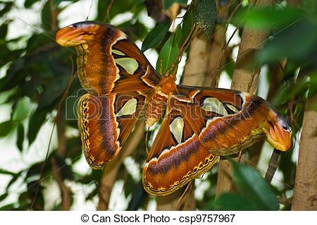 Picture of Big Atlas moth or Attacus atlas.