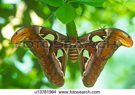Stock Photo of (Attacus atlas) Atlas Moth. u13781984.