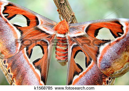 Stock Image of Atlas moth k1568785.