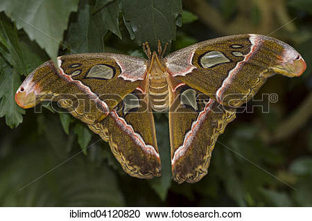 Stock Photography of Atlas moth (Attacus atlas) in the butterfly.