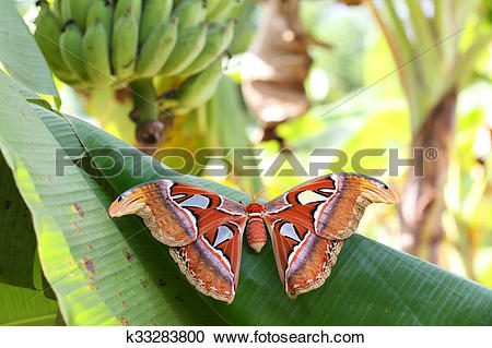 Stock Photography of The Atlas moth (Attacus atlas). k33283800.