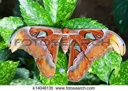 Stock Image of Giant Atlas Moth k14048135.