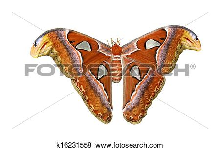 Pictures of Atlas moth isolated on white background k16231558.