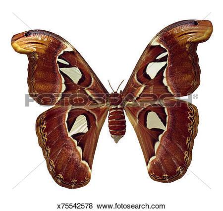 Pictures of Attacus atlas moth x75542578.