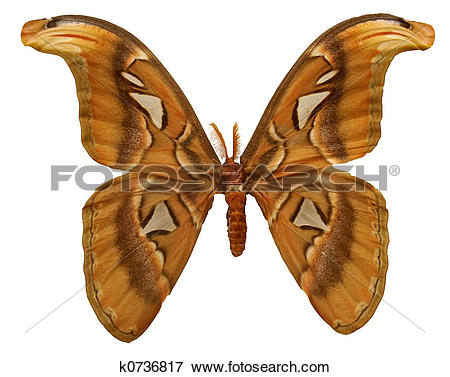 Picture of Atlas Moth k0736817.