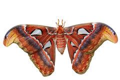 Atlas Moth Royalty Free Stock Photos.