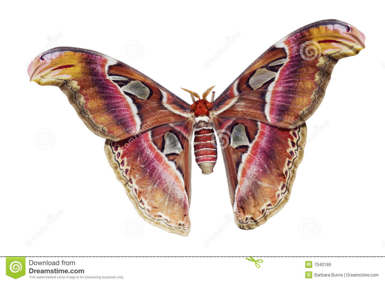 Giant Atlas Moth Cutout Royalty Free Stock Images.