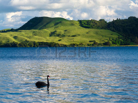 Black Swan Images & Stock Pictures. Royalty Free Black Swan Photos.