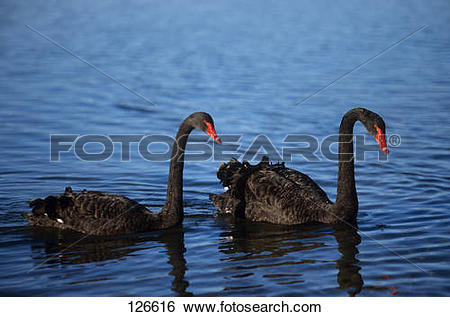 Stock Images of black swan.