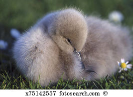 Cygnet Images and Stock Photos. 1,308 cygnet photography and.