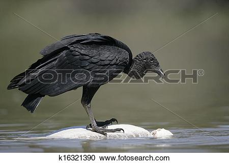 Stock Photography of Black vulture, Coragyps atratus k16321390.