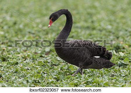 "Picture of ""Black swan (Cygnus atratus) standing in a canola field."