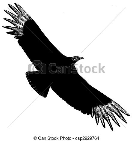 Drawing of Black Vulture.