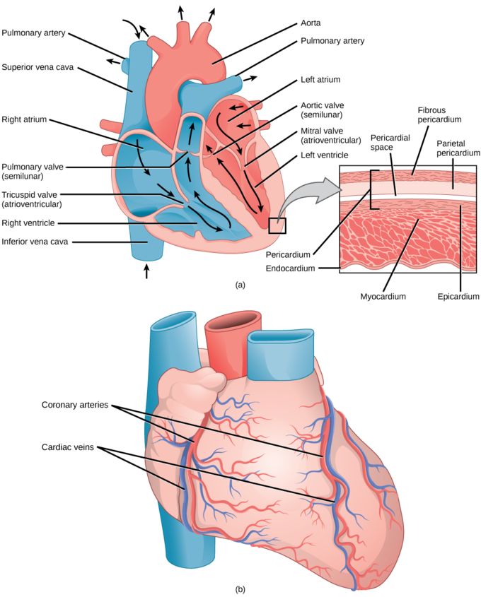 Atrium Heart Model Clip Art.