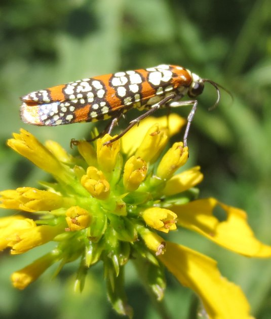 "mcewanlab on Twitter: ""Just got this image of Ailanthus moth."
