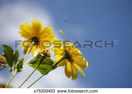 Stock Photo of yellow daisy flowers attract honey bees blue sky.