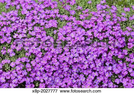 Picture of Purple rock cress (Aubrieta deltoidea). x8p.