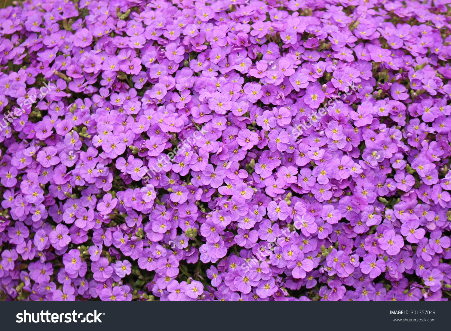 Purple Aubrieta Flowers Aubretia Flowers Aubrieta Stock Photo.