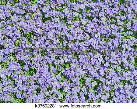 Stock Photography of Aubrieta tiny blue summer flowers background.