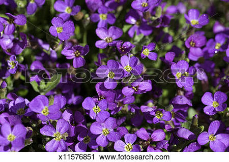Stock Photography of Axcent Lilac (Aubrieta hybrid) x11576851.