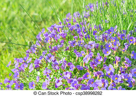 Pictures of Tiny blue decorative flowers Aubrieta in sunshine.