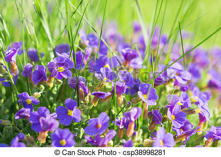 Pictures of Multitude Aubrieta small blue flowers in grass on.