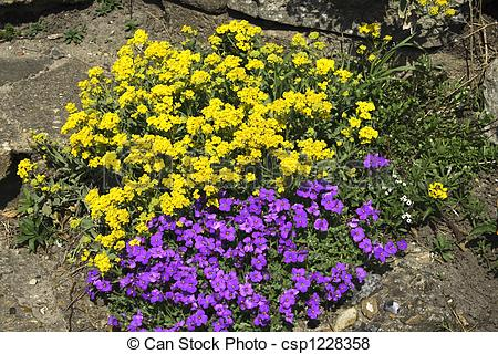 Pictures of yellow plants and aubretia.