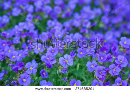 Aubrietien Stock Photos, Images, & Pictures.