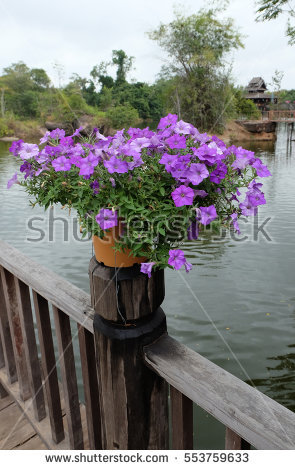 Aubrieta Flowers Stock Photos, Royalty.