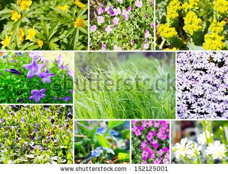 Aubrietien Stock Photos, Images, & Pictures.