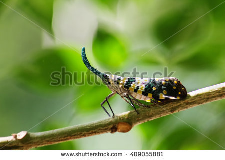 "fulgorid_bug"" Stock Photos, Royalty."