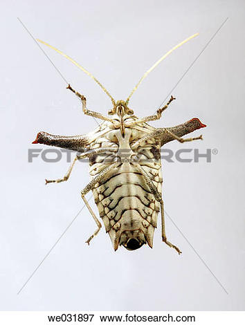 Picture of bedbug auchenorrhyncha from south America ( Venezuela.