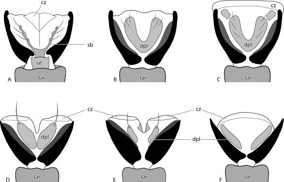 Morphology of Arolia in Auchenorrhyncha (Insecta, Hemiptera) (PDF.