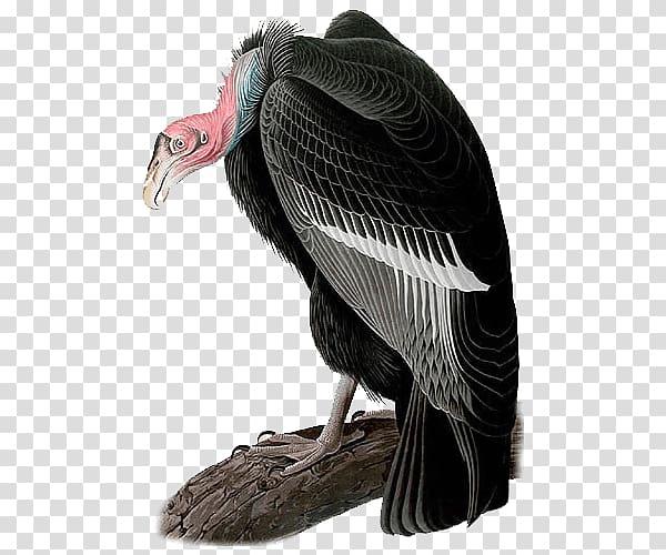 The Birds of America California condor National Audubon.