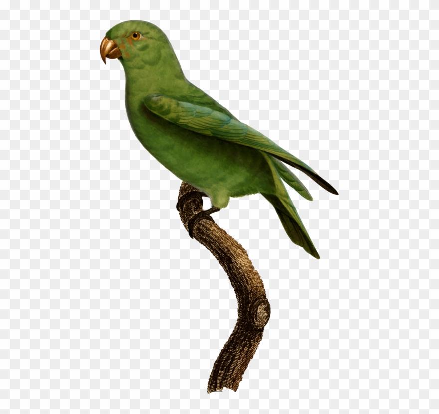 Lovebird Finches Parakeet Feather Fauna.