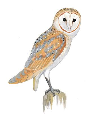 Audubon clip art.