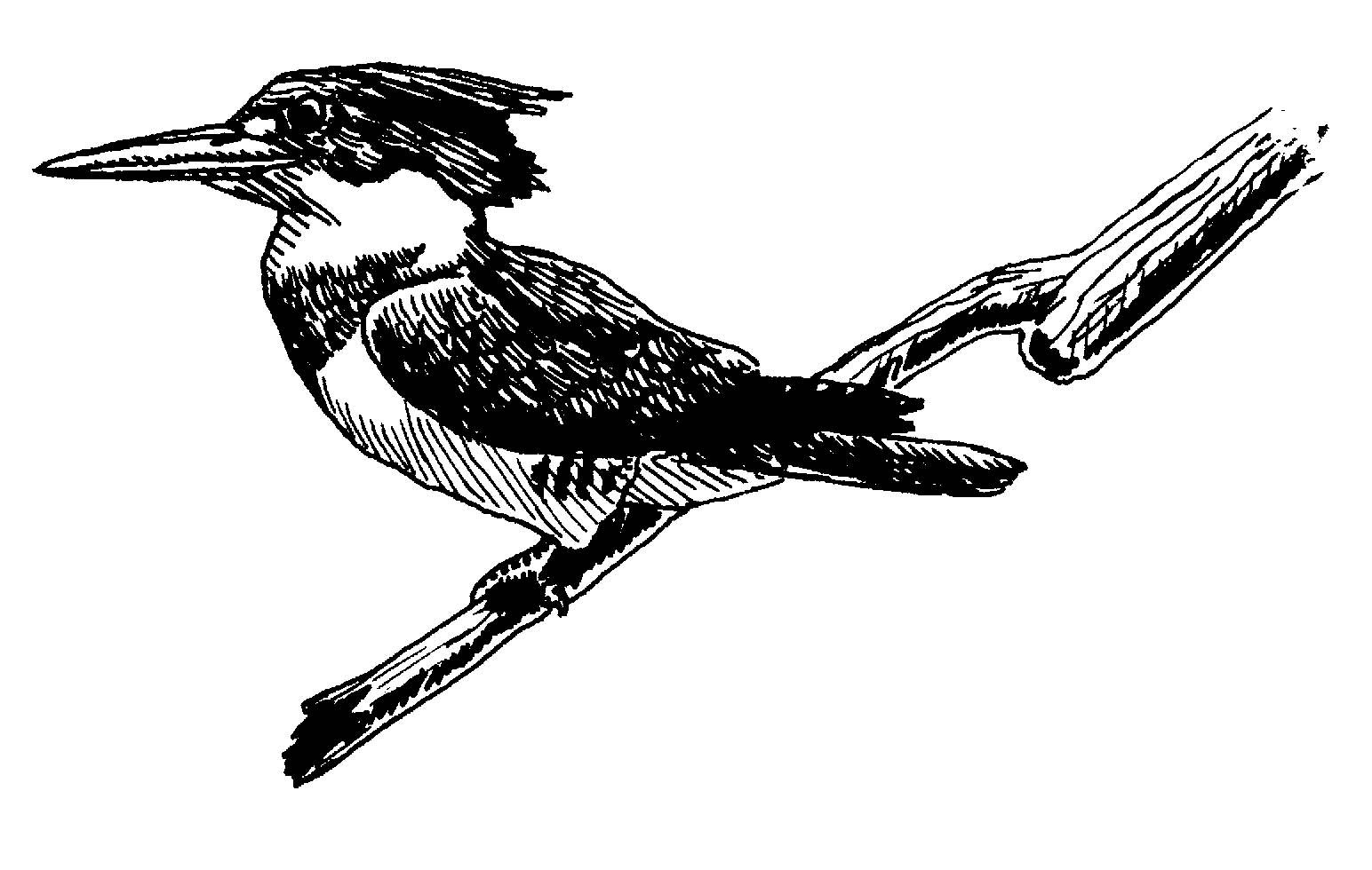 Kingfisher Clipart.