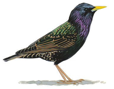 Flying Starling Clip Art.