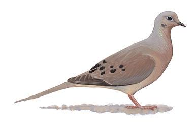 Collared Dove Clip Art.