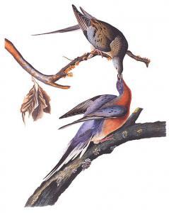 Passenger Pigeon Audubon Clip Art Download.