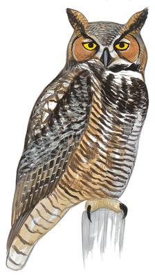 Great Horned Owl Flying Clip Art.