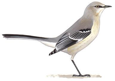Mockingbirds and thrashers audubon clip art.