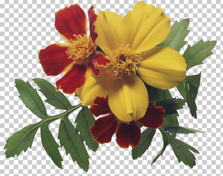 Birth Flower August Birthday PNG, Clipart, Annual Plant.