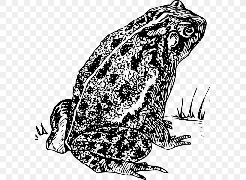 Frog Amphibian Clip Art, PNG, 588x600px, Frog, American Toad.