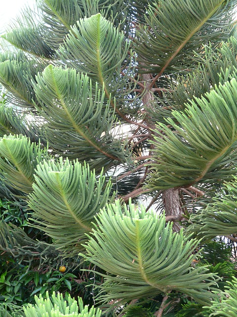 Free photo Distinctive Branches Tree Araucaria Heterophylla.