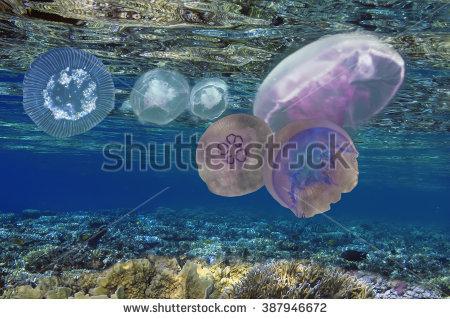 Moon Jellyfish Aurelia Aurita Caribbean Sea Stock Photo 84083383.