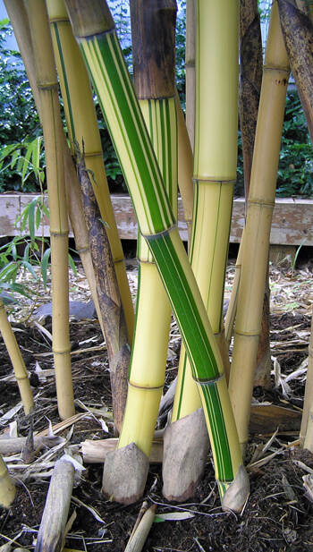 Phyllostachys vivax for sale.