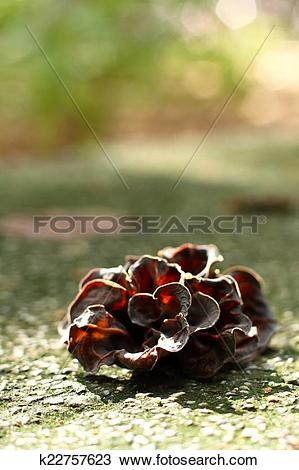 Stock Photo of ear mushroom growing in the forest (Auricularia.