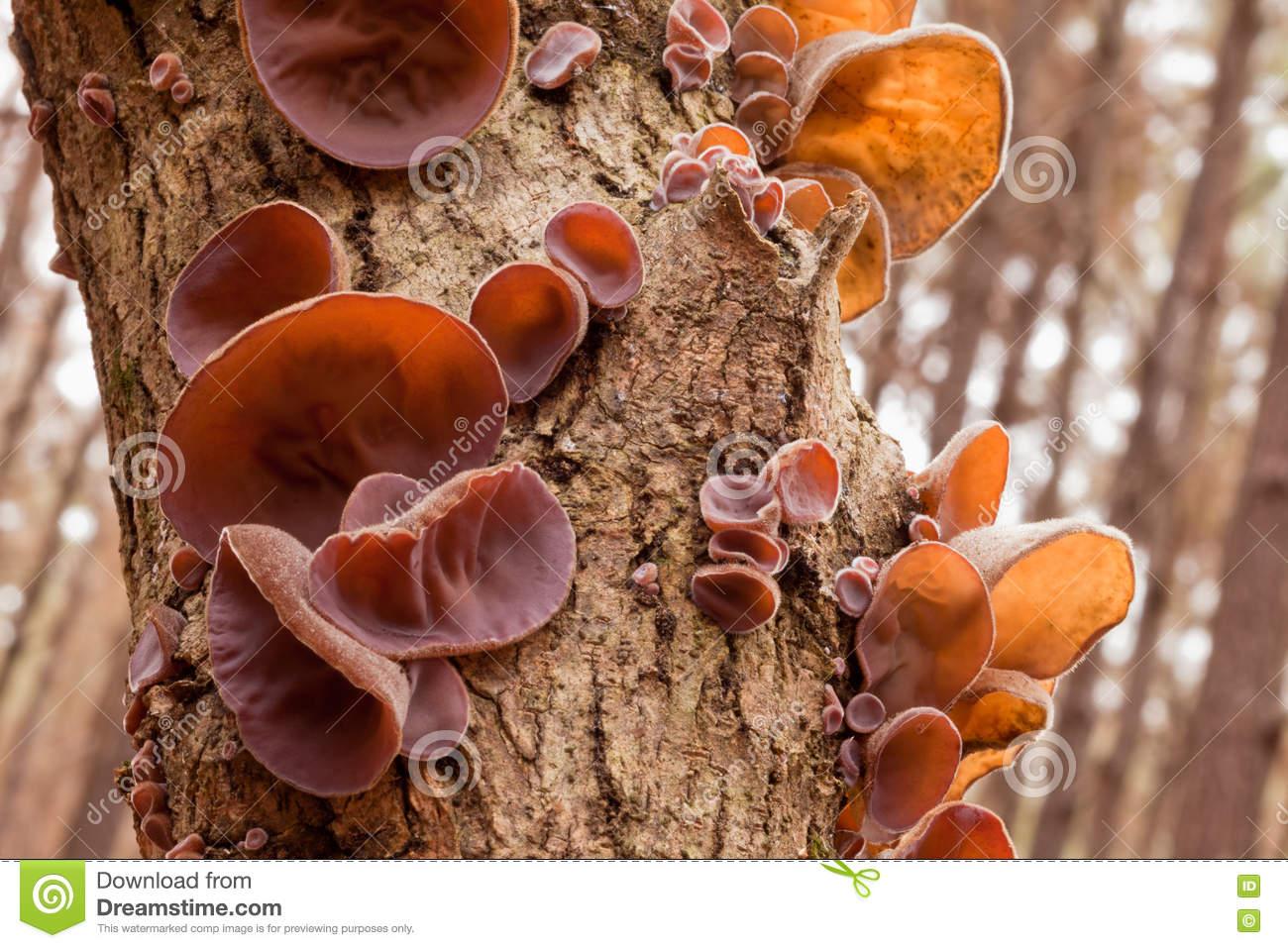 Tasty Jews Ear Fungus Auricularia Auricula.
